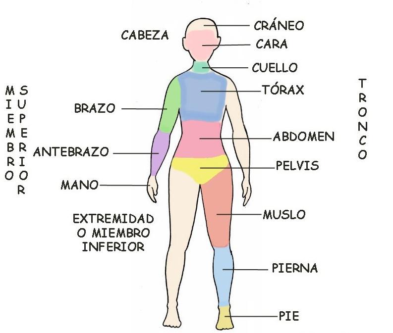 Qué es la anatomía humana