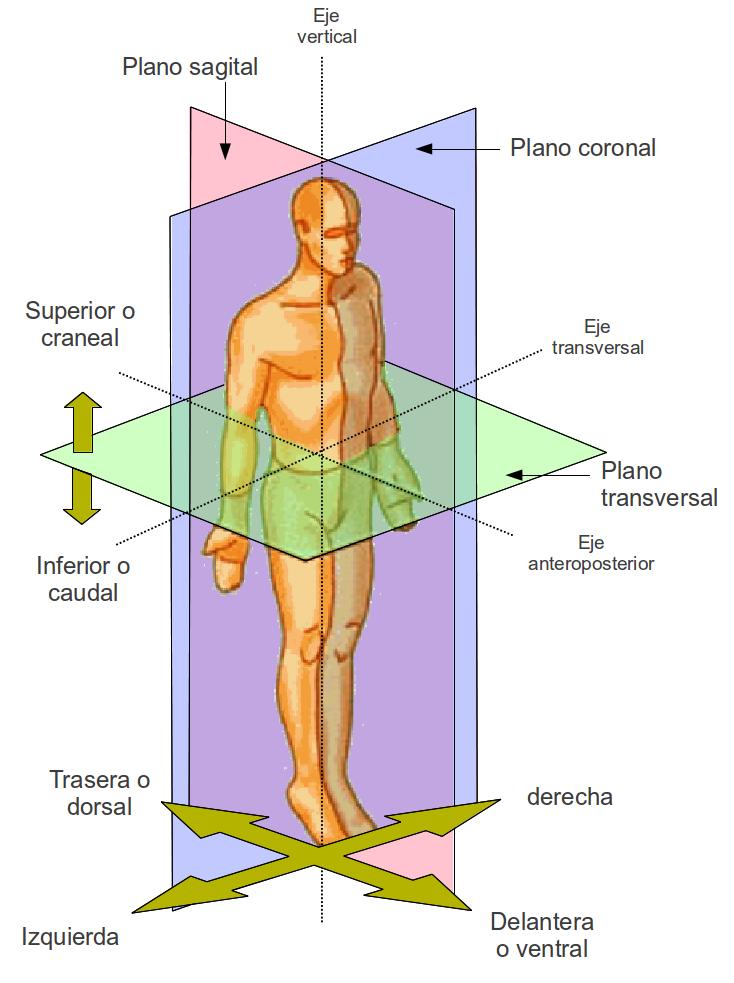 ¿Qué es la anatomía humana?