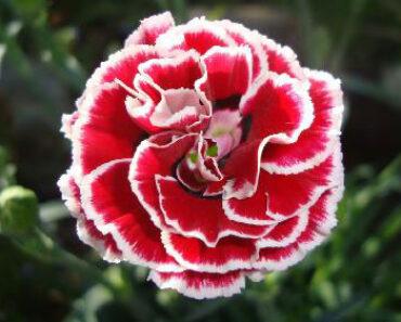 flores tipicas de españa